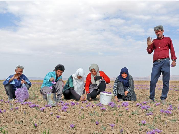 خرید زعفران مستقیم از کشاورز