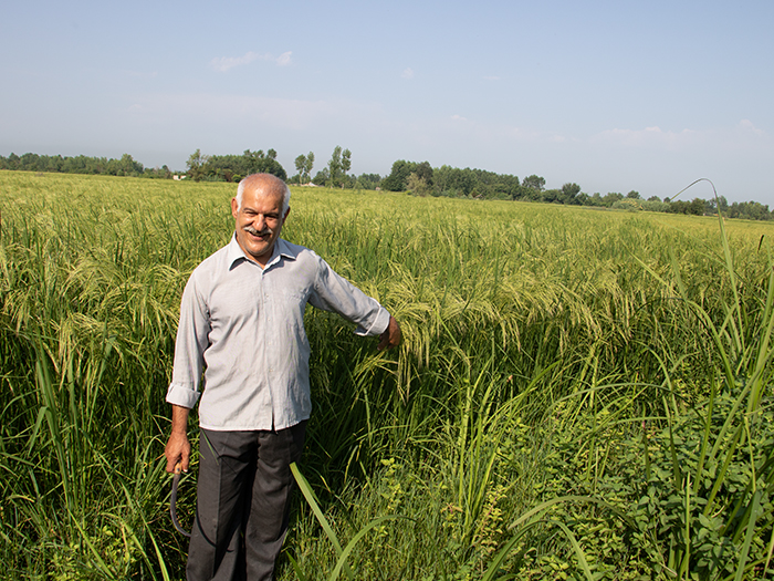 برنج اصل