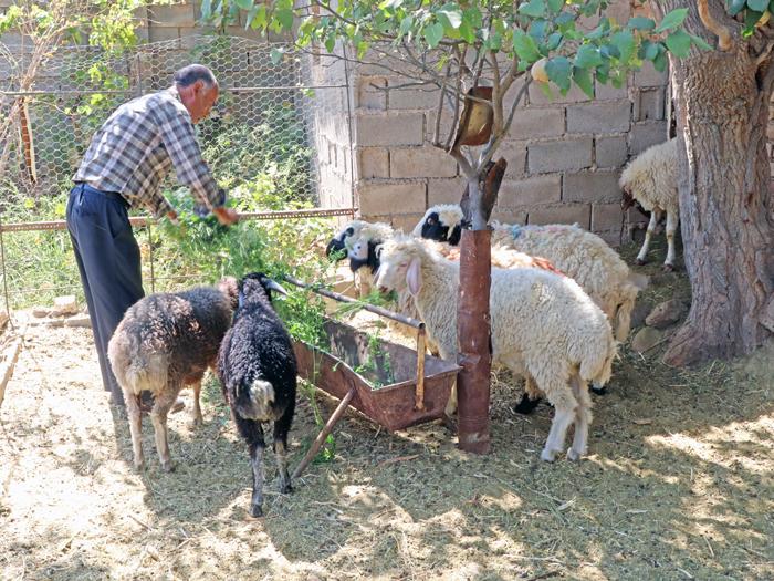 زعفران دست رنج کشاورز