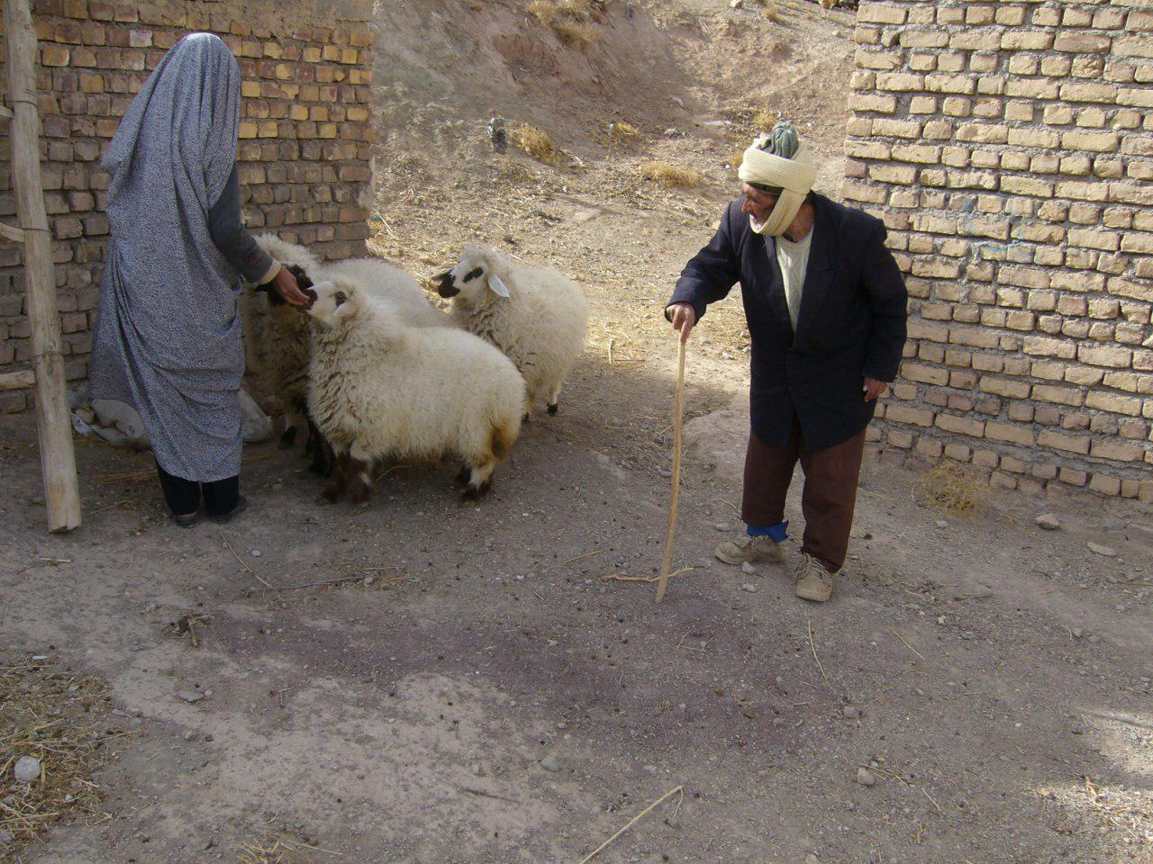رمضان محسن زاده و همسرش درحال رسیدگی به گوسفندان